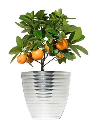 dwarf lemon tree in silver pot on isolated background