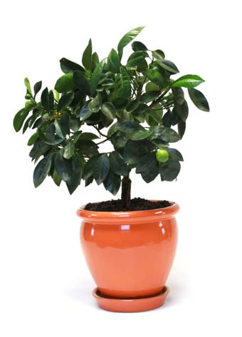 dwarf lime tree in shiny terracotta colored planter