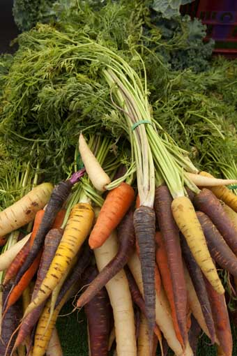 a bunch of heirloom carrots banded at their stalks; carrots are many different colors - orange, purple, cream, and white