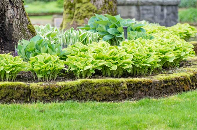 Hostas growing underneath trees but built up with extra soild and admendments
