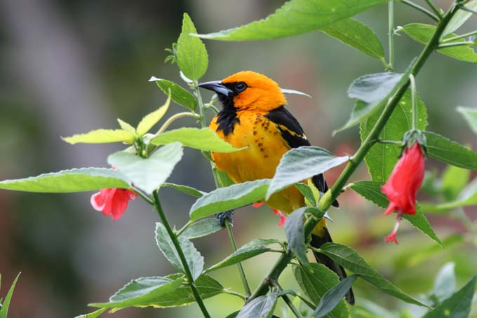 Oriole using a bush as cover - sitting on branch