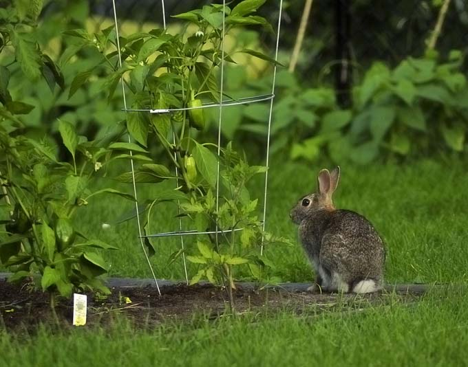A rabbit pauses by a pepper plant in the garden; seeminly trying to decide if he should take a nibble