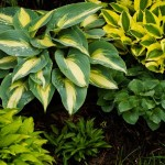 various hosta cultivators