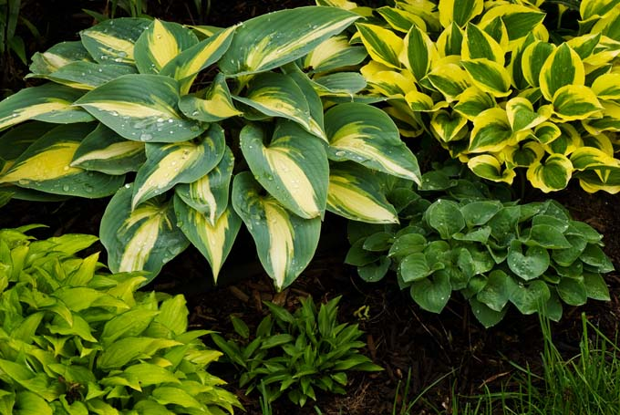 various hosta cultivators planted together highlights the variations within this perennial