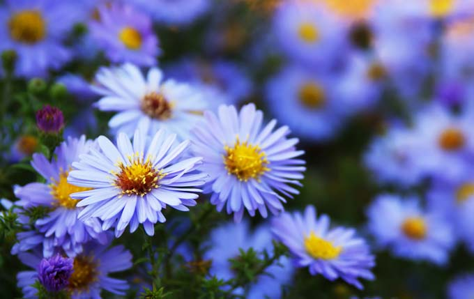 Asters for the fall garden | Gardnerspath.com