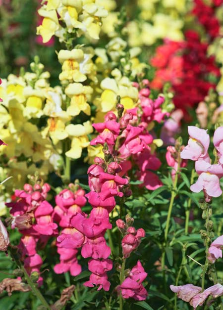 Snapdragons in Fall Landscaping | Prettyacres.com