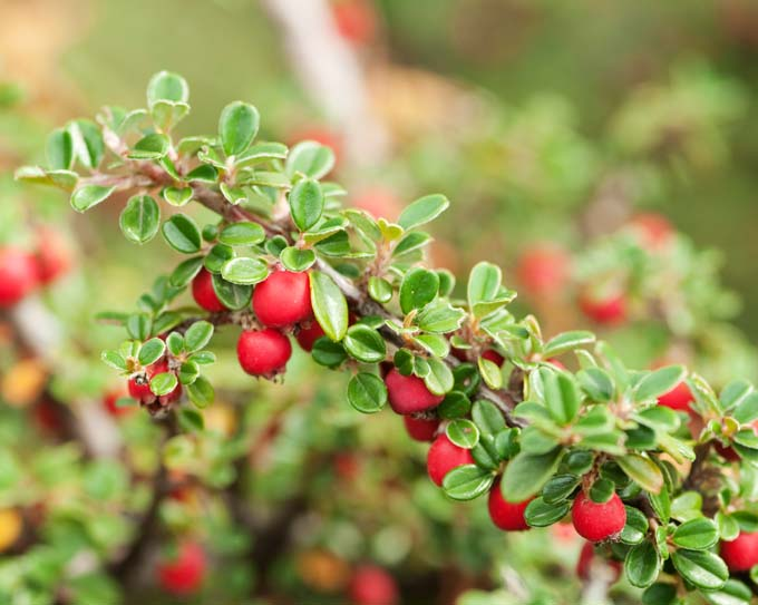 Cotoneaster for the fall garden | Prettyacres.com