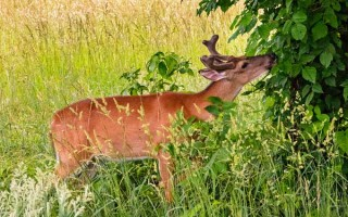 Deer Munching Tree Cover | GardenersPath.com