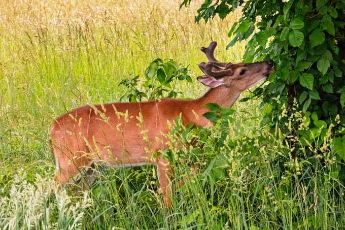Deer Munching Tree Cover   GardenersPath.com