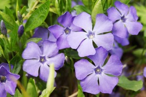 7 Outstanding Salt Tolerant Shade Perennials