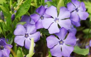 Blue Violet Periwinkle | GardenersPath.com