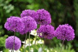 Flowering Alliums Transform Your Yard for Weeks