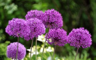 Alliums Transform Your Yard for Weeks