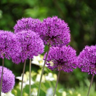Alliums Transform Your Yard For Weeks | GardenersPatch.com