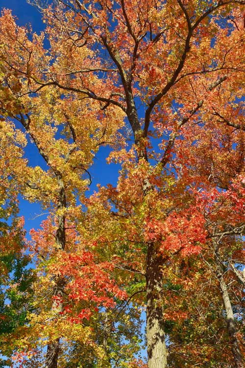 American Sweetgums in a fall display of color | Gardenerspath.com