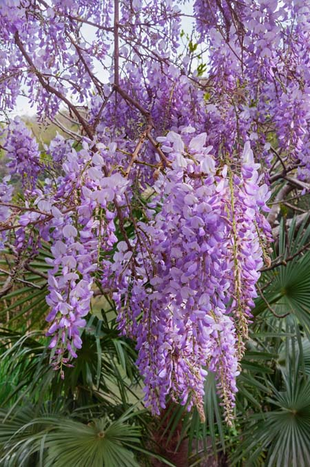 Best flowering vines for the northern us gardeners path american wisteria gardenerspath mightylinksfo