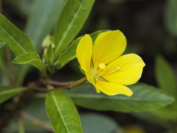 Anglestem Primrose Wildflower | GardnersPath.com