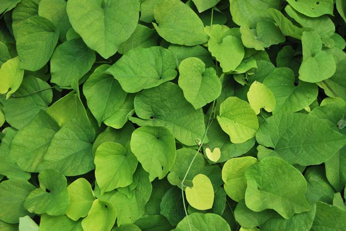 Green leaves of Aristolochia macrophylla, also known as pipevine.