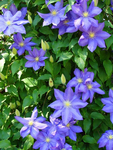 Best Flowering Vines For The Northern Us Gardeners Path