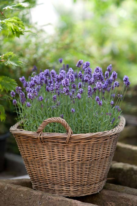A close up vertical picture of a wicker basket with a lavender plant, set on a concrete surface, on a soft focus background.