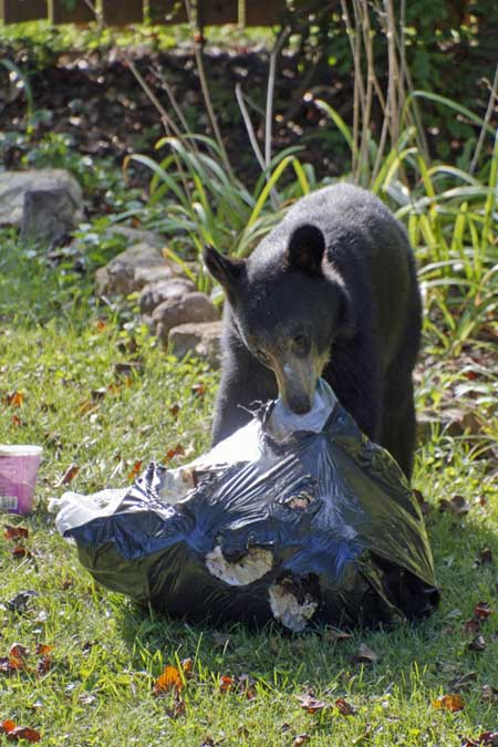 A vertical image of a bear dragging a large black trash bag across the lawn in a suburban neighborhood.