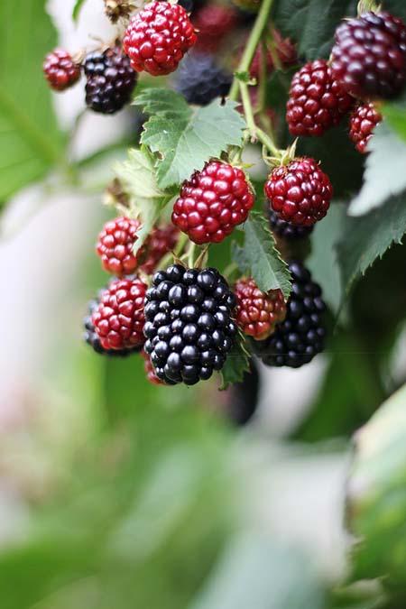Blackberry Bushes | GardenersPath.com