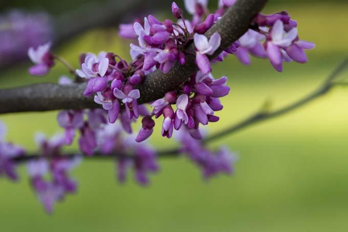 Blooms of the Eastern Redbud Tree | GardenersPath.com