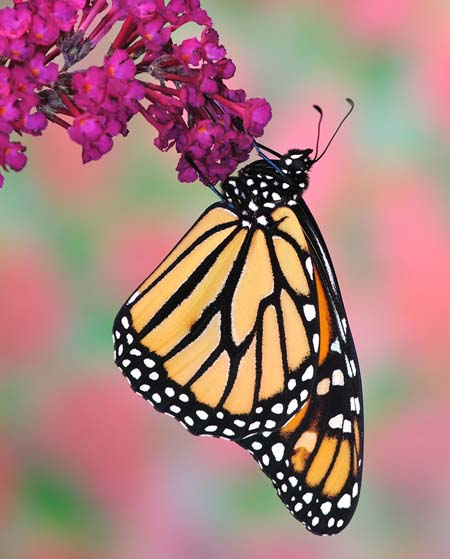 Want to attract more monarchs to your backyard? Plant butterfly bushes! Read this handy guide to find out what varieties are available! https://gardenerspath.com/how-to/animals-and-wildlife/butterfly-bushes-small-gardens/