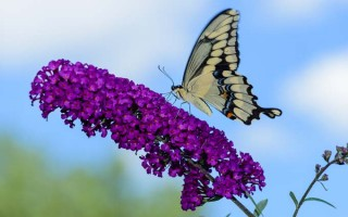 Butterfly Bushes for Small Gardens