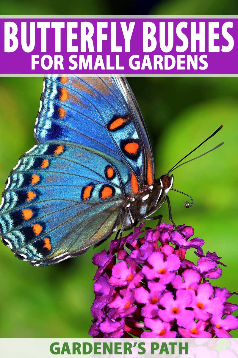 Best 6 Perennial Bushes To Attract Butterflies Gardener S Path