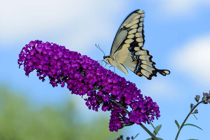 Best 6 perennial bushes to attract butterflies gardeners path butterfly bushes for small gardens gardenerspath mightylinksfo