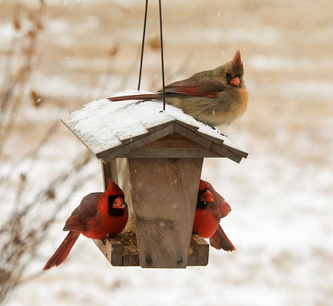 Cardinals feeding during the winter from a cute wooden bird feeder hanging from a tree covered in a light dusting of frost.