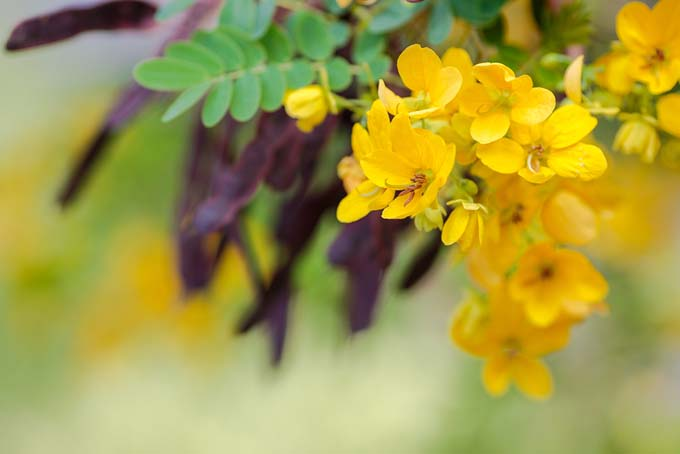 Chamaecrista fasciculata, also known as senna, with clusters of small five-petaled yellow flowers and purple seeds pods.