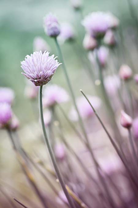 Chives in bloom | GardenersPath.com