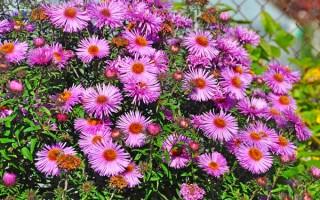 Climbing Aster | GardenersPath.com