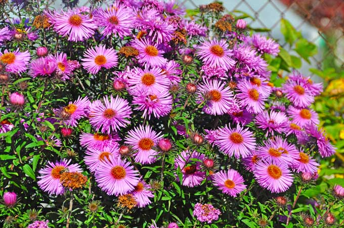 Pink climbing asters, growing in bright sunshine.