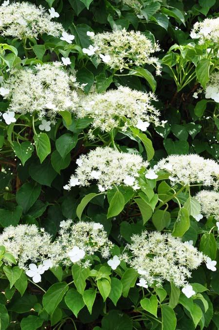 Best flowering vines for the northern us gardeners path climbing hydrangea gardenerspath mightylinksfo