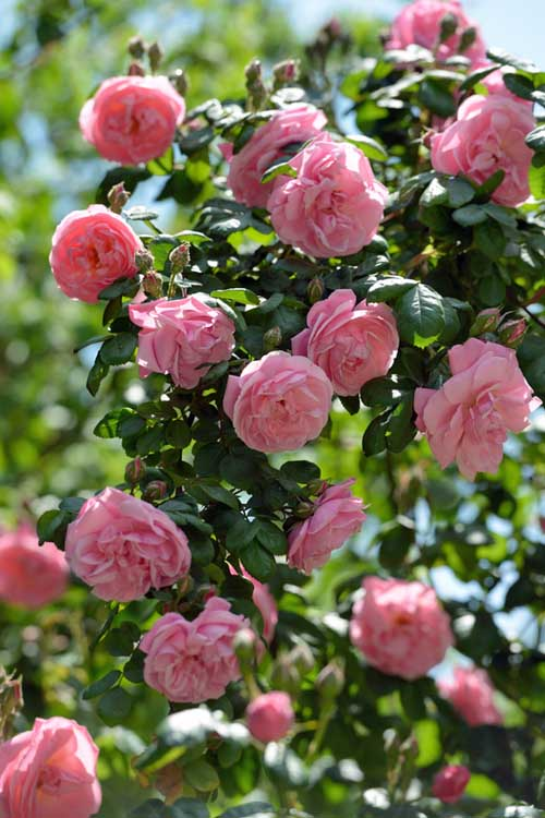A vertical picture of pink climbing roses in full bloom on a sunny day, with blue sky in the background.