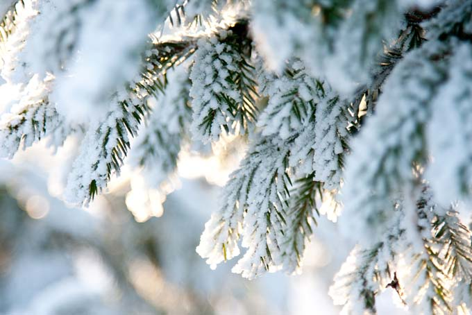 Drooping, needle-covered conifer branches, coated with snow.