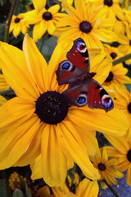 The Coreopsis flower is known for attracting butterflies. But there are many more flowering plants that also are great at seducing our winged insect angels. Find out more now. https://gardenerspath.com/how-to/animals-and-wildlife/butterfly-bushes-small-gardens/