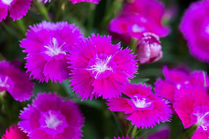 Dianthus 'Supra Purple' with jagged-edged petals that look as if they have been cut with pinking shears, and pink petals.