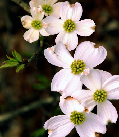Dogwood flowers, with four pale pink petals and green centers.