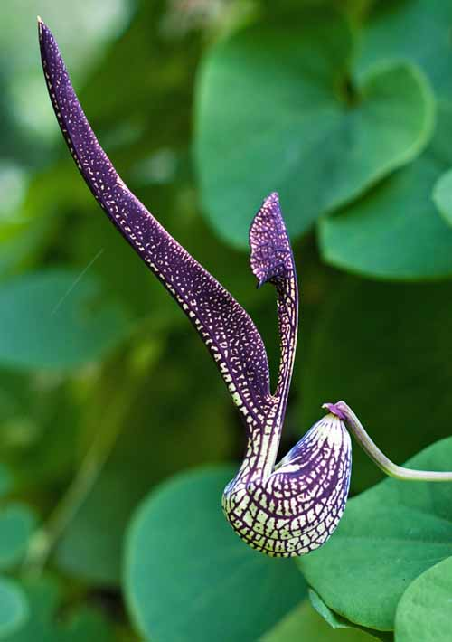 A vertical picture of a Dutchman's pipe vine with its unusual flower in the shape of a pipe, contrasting with the green foliage in soft focus in the background.