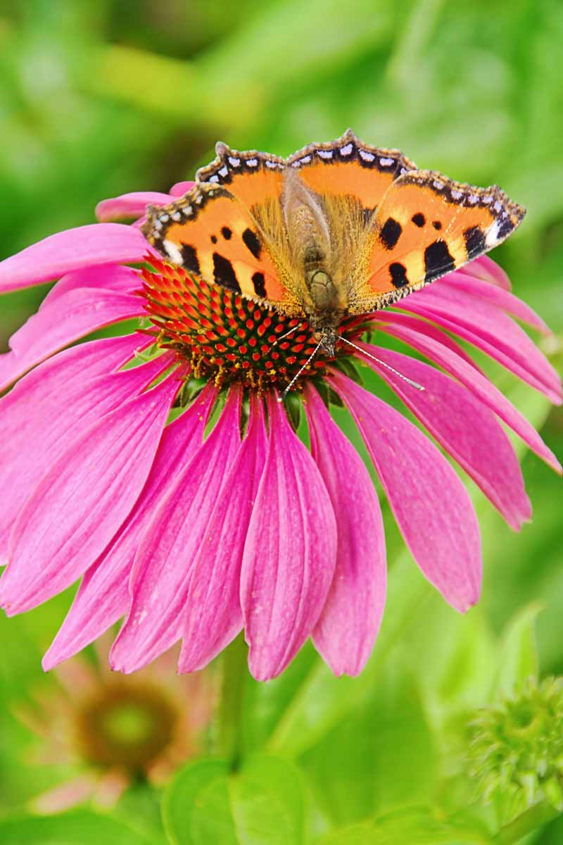 European Peacock on Purple Coneflower.