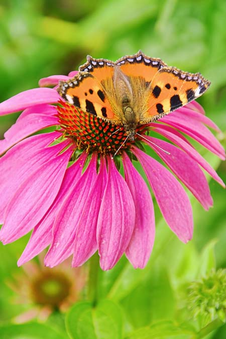 Besides being a medicinal plant, echinacea is mana to butterflies. Find out more about echinacea and other butterfly attracting flowers now! https://gardenerspath.com/how-to/animals-and-wildlife/butterfly-bushes-small-gardens/