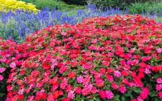 Fall Annuals for the South