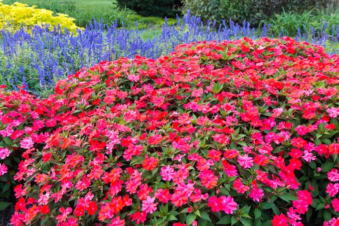 Impatients are a popular annual in the south | GardenersPath.com
