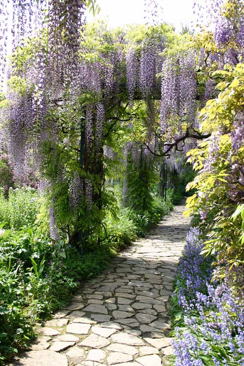 Flowering Wisteria on a Trellis | Gardenerspath.com