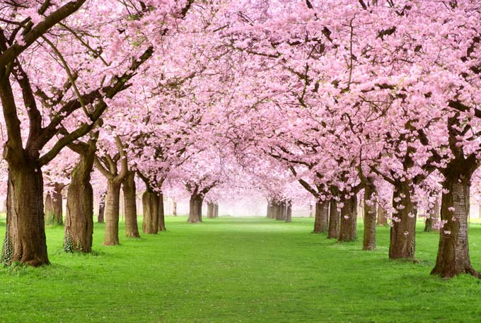 Top Cherry Trees For The South