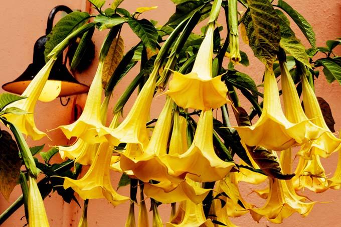 Gelsemium sempervirens - Carolina Jasmine - Evening Trumpetflower | GardnersPath